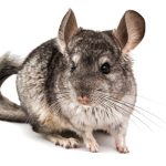 Chinchilla Facts – 40 Interesting Facts