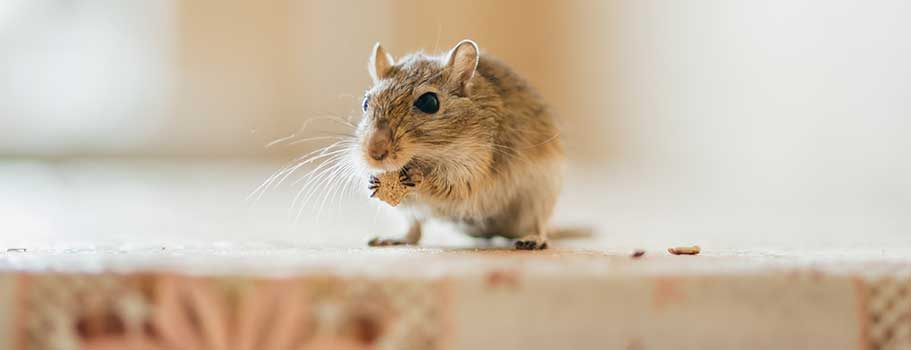 Facts About Gerbils