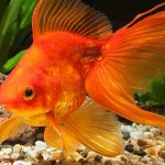 Goldfish Facts – 20 Amazing Facts About Your Favorite Fish
