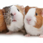 25 Guinea Pig Facts That Kids Will Love