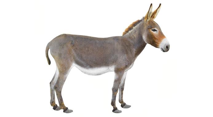 20 Donkey Facts