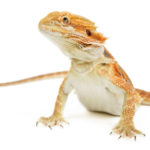 30 Bearded Dragon Facts And Information For Kids