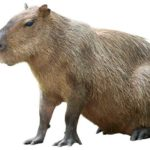 Capybara Facts And Information For Kids