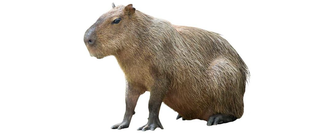 Capybara Facts