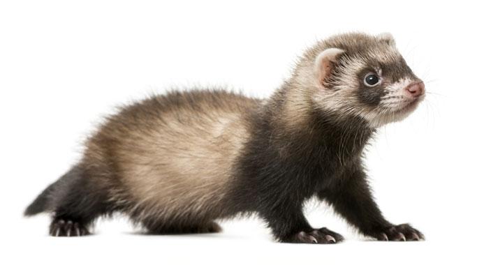15 Ferret Facts