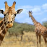 20 Giraffe Facts That Will Blow Your Mind