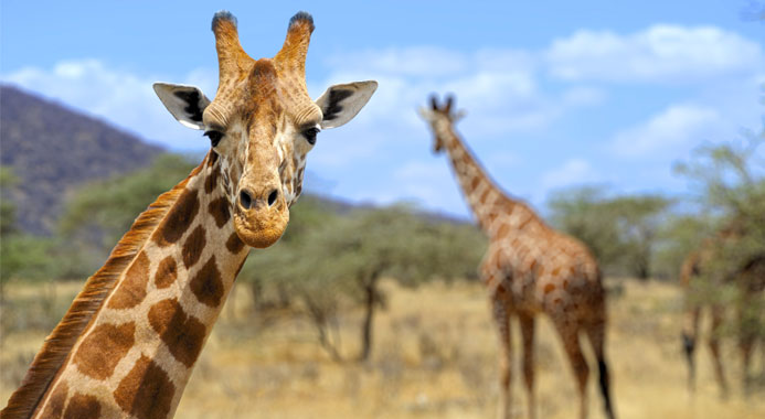 20 Giraffe Facts