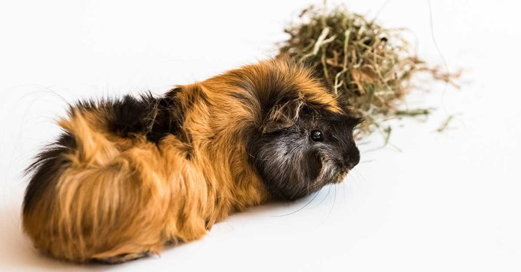 What Do Guinea Pigs Eat? Detailed Guide To Their Diet