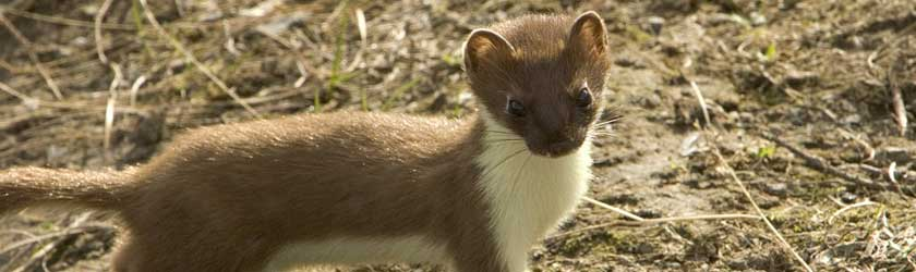 What Do Weasels Eat