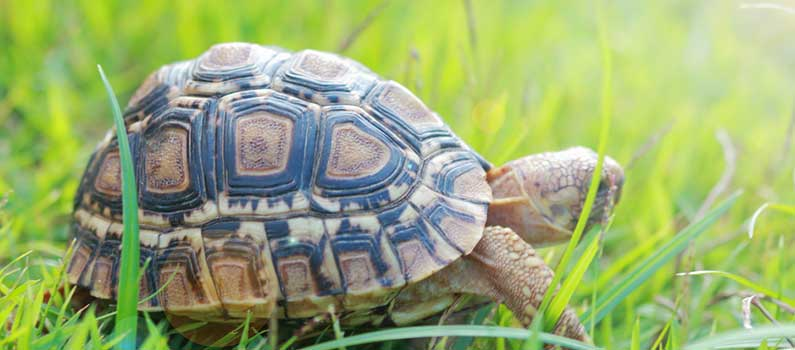 Can Turtles Eat Tomatoes?