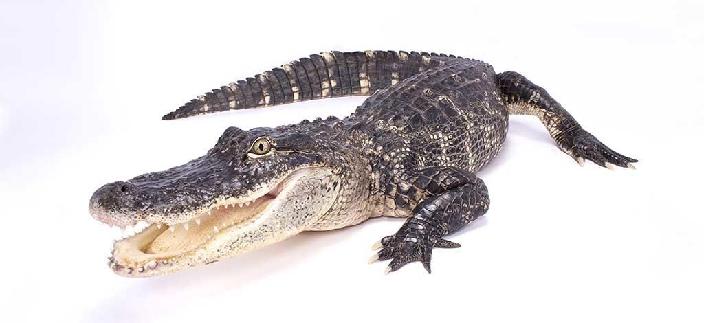 What Do Alligators Eat
