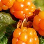 Can Guinea Pigs Eat Cloudberries?