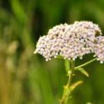 Can Rabbits Eat Achillea?