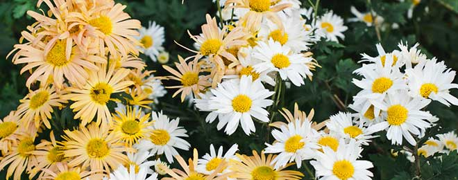 Can Rabbits Eat African Daisies