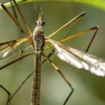 Can Bearded Dragons Eat Crane Flies?