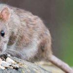 Can Chinchillas Eat Rat Food?