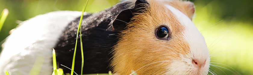 Can Guinea Pigs Overeat?