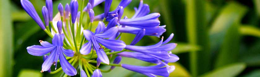 Can Rabbits Eat Agapanthus?