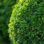Can Rabbits Eat Boxwoods?
