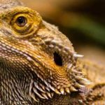 Can Bearded Dragons Eat Fish Food?