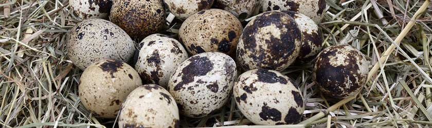 Can Bearded Dragons Eat Quail Eggs