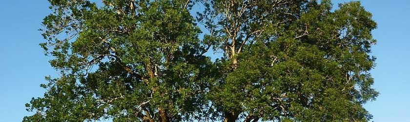 Can Rabbits Eat Ash Tree?