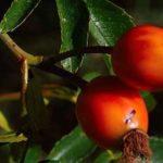 Can Rabbits Eat Goji Berries?