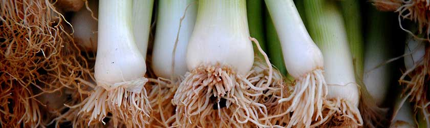 Can Guinea Pigs Eat Spring Onions?