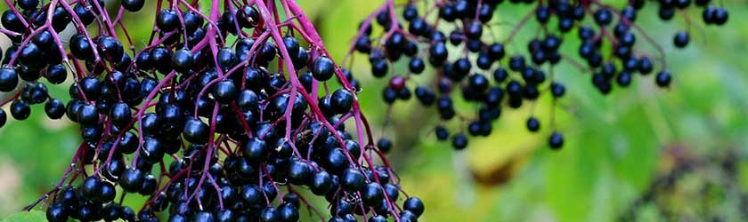 Can Rabbits Eat Elderberries?
