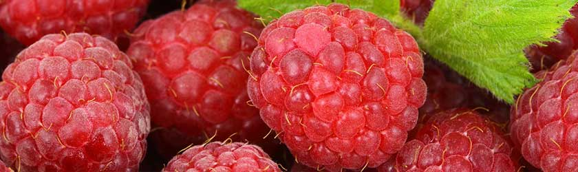 Can Gerbils Eat Raspberries?