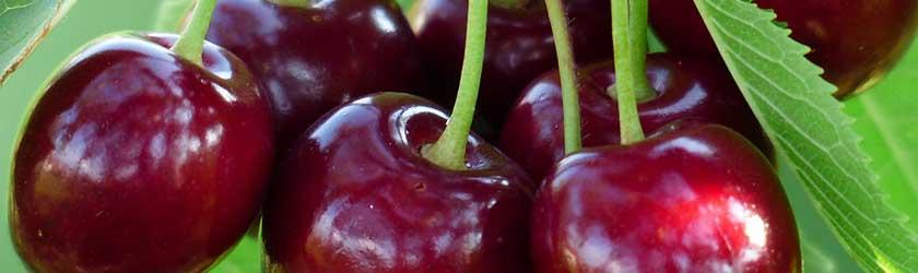 Can Guinea Pigs Eat Bing Cherries?