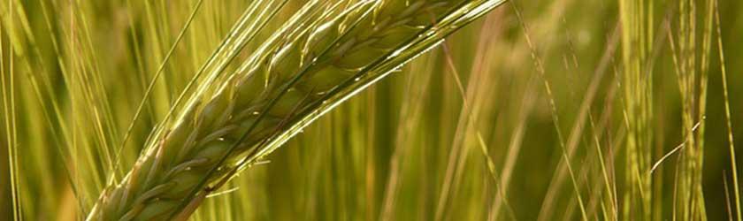 Can Chinchillas Eat Barley?