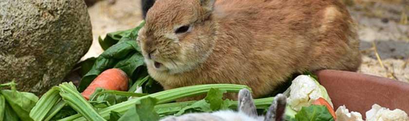 Can Chinchillas Eat Rabbit Food?