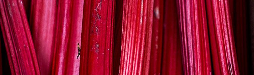 Can Bearded Dragons Eat Rhubarb
