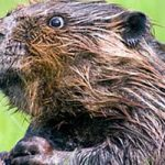 What Do Beavers Eat
