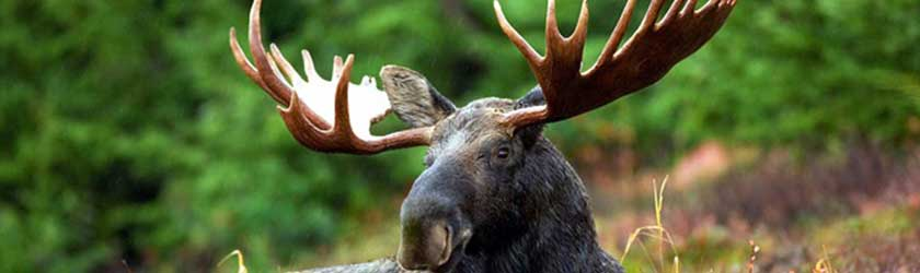 What Do Moose Eat