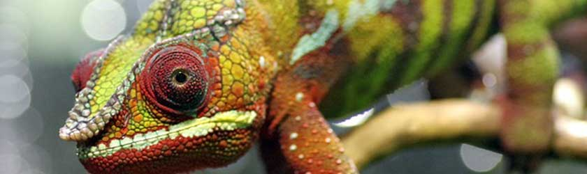 10 Chameleon Facts That You Never Knew About